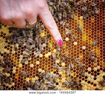 Bee queen in beehive - close up view