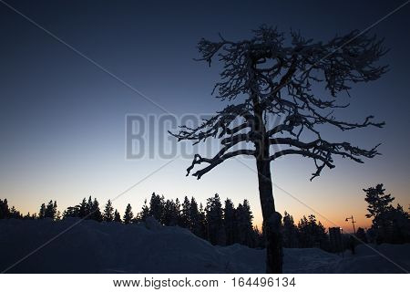 sunrise tree silhouette on winter forest background in Finland, Levi