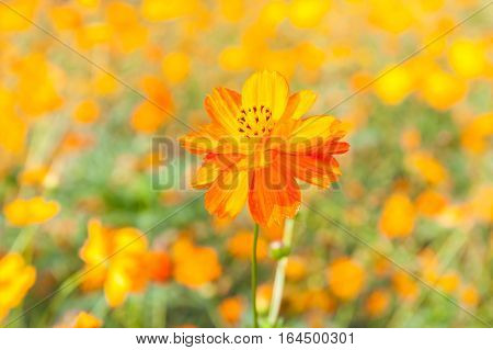 Colorful yellow cosmos flowers in sunny day with blurred background garden.