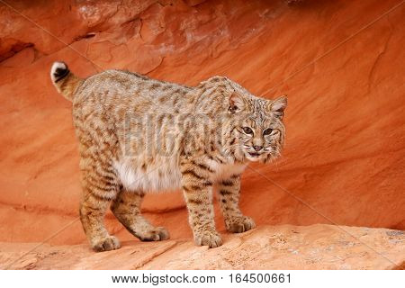 Bobcat Standing On Red Rocks