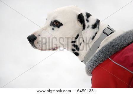 Profile portrait of Dalmatian dog in a red coat in winter time.