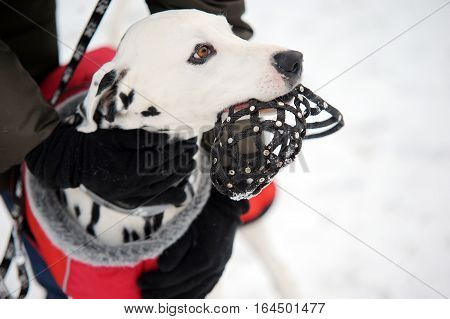 Woman arms in glowes keeping Dalmatian dog with muzzle in mouth in winter time. Dog training