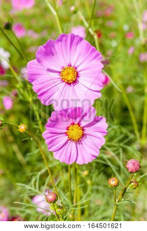 Close up pink cosmos blooming with blurred natural field farmland beautiful travelling destination.