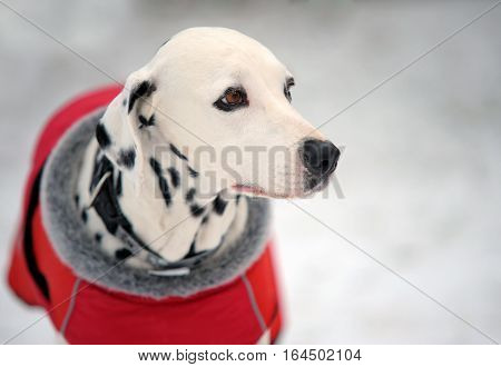 Portrait of beautiful Dalmatian dog in a red coat in winter time.