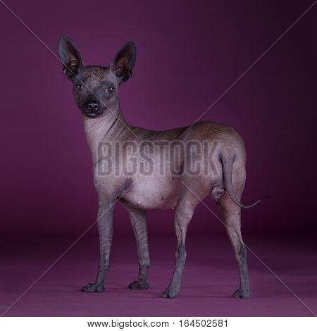 Mexican hairless dog with purple background in studio