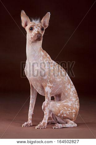 Peruvian Hairless dog portrait in studio with brown background