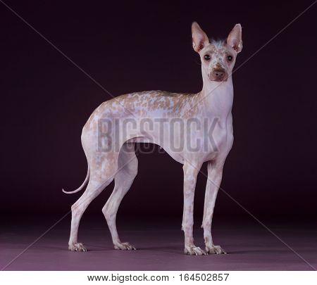 Peruvian Hairless dog portrait in studio with purple background