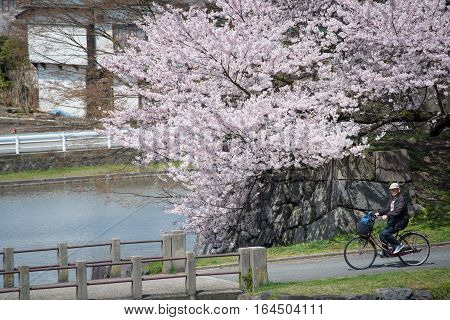 Yamagata - April 15:The old man riding a bicycle at Kajo Park which is Yamagata Castle ruin Famous spot of Yamagata-shi first-rate cherry tree where approximately 1500 cherry trees are in full glory in April 152015