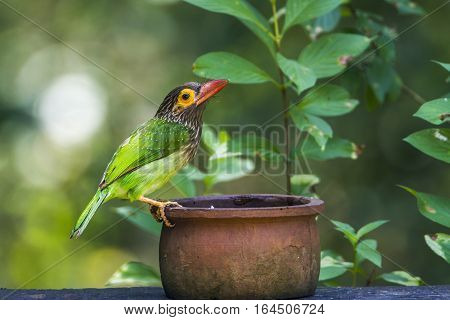 Brown-headed barbet in Minneriya national park, Sri Lanka ; specie Megalaima zeylanica family of Ramphastidae