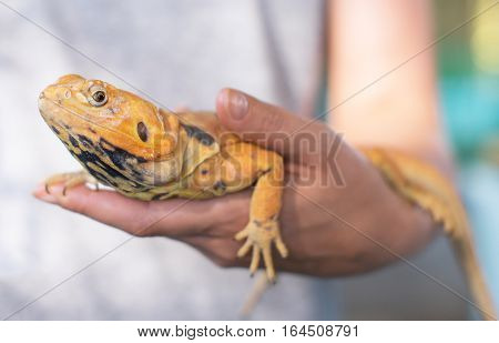 Woman Holding Yellow Iguana In Her Hands.