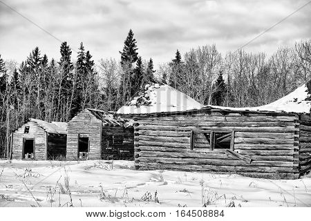 Abandoned log cabin and sheds on a homestead in front of forest of trees in black and white