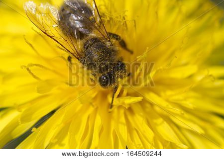 bee collects pollen on a bright yellow dandelion, plunged headlong into the work