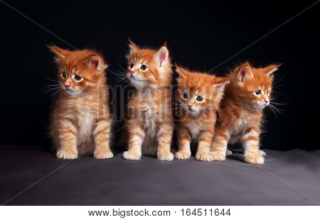 Four Adorable Bright Red Solid Maine Coon Kittens Sitting With Beautiful Brushes On The Ears On Blac