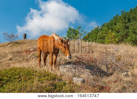 Tatar horse eating favorite dainty hips berries in Crimean mountains