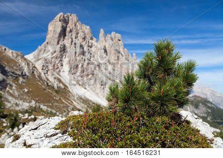Small pine tree and stone and Cima Ambrizola and Clroda da Lago Italien dolomites