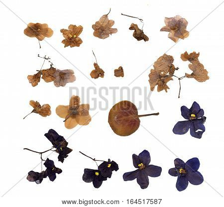 Viola Pressed Flowers And Petals Isolated