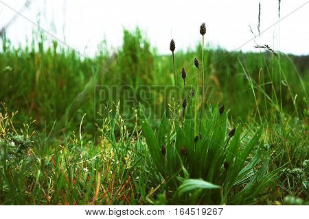 Focus on Ribwort Plantain on field grass