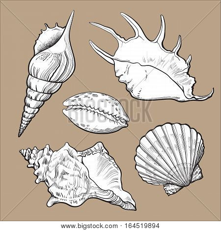 Set of various white beautiful mollusk sea shells, sketch style illustration isolated on brown background. Realistic hand drawing of seashells like conch, kauri, oyster, spiral, clam and mollusk shell