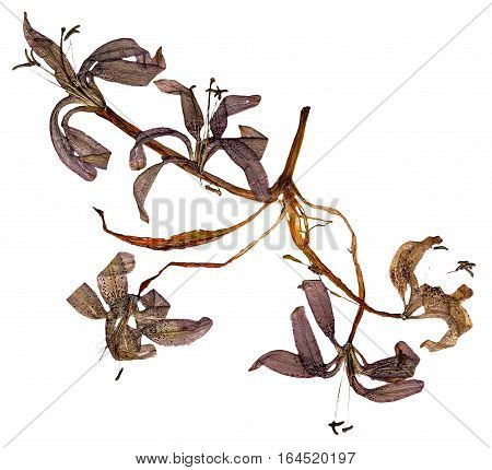 Flower Saranka Curved Petals On The Dried Lily