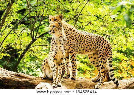 Two cheetahs. Acinonyx jubatus. Wild animal and wildlife