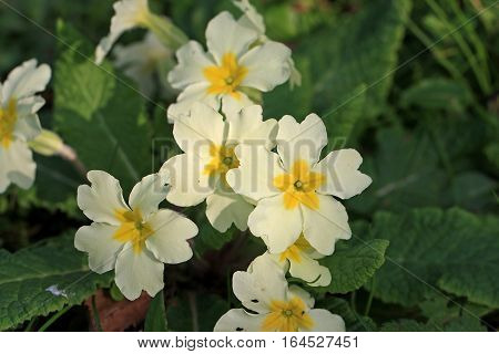 Primroses in close up flowering in spring