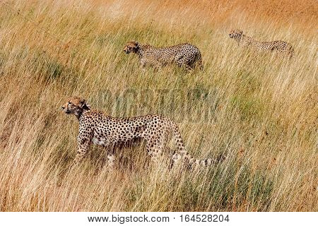 Group cheetah hunts Serenegeti national park. Africa. Tanzania. Hiding in the tall grass.