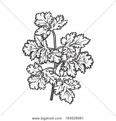 Coriander herb, cilantro, Chinese parsley leaves, sketch style vector illustration isolated on white background. Realistic hand drawing of coriander, cilantro branch, popular spice and seasoning