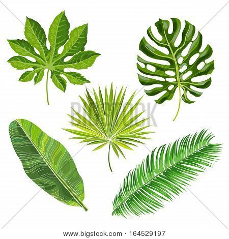 Set of tropical palm leaves, vector illustration isolated on white background. Realistic hand drawings of monstera, banana, palm trees as jungle, tropical forest design elements