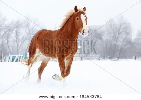 Bay stallion trotting on winter field. Sorrel free horse on snow