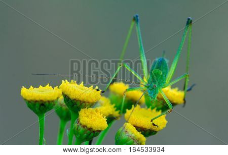 Big green phaneroptera sits on the yellow flowers of tansy