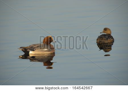 Eurasian Wigeon (Anas penelope) couple drifting on the surface of a Lake
