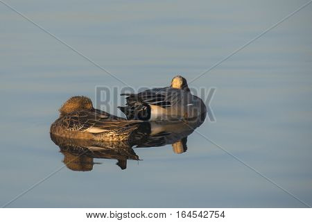 Eurasian Wigeon (Anas penelope) couple resting on the surface of a Lake