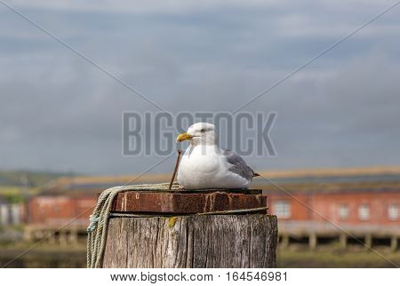Seagull perched on a post. Taken on a visit to Newhaven port and took a closeup of a seagull lying on a wooden post.