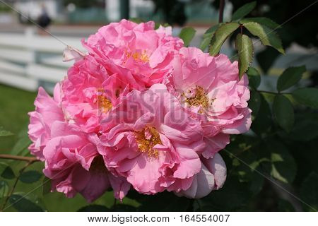John Davis - double pinks hardy rose cluster