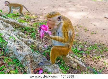 The toque macaque eats the bright pink lotus flower sitting on the tree's roots Anuradhapura Sri Lanka.