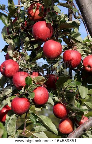 A luscious crop of bright red apples