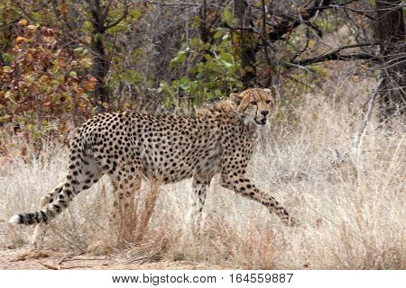 A Cheetah crosses in front of the photographer