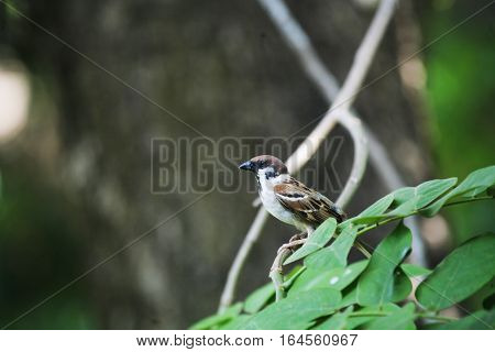 The house sparrow is a bird of the sparrow family Passeridae