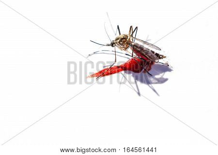 Close up of mosquito after sucking blood on white background