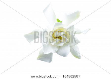 White gardenia (jasminoidesGardenia jasmine) isolated on white.Saved with clipping path