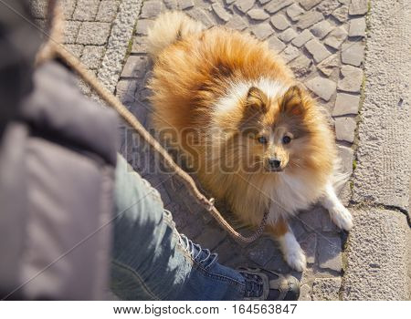 Shetland Sheepdog sits with a leash on street