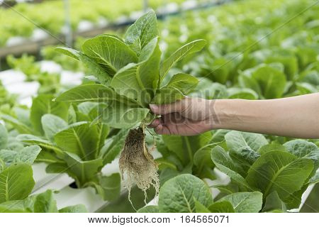 Close up hand holding hydroponics plant, healthy food