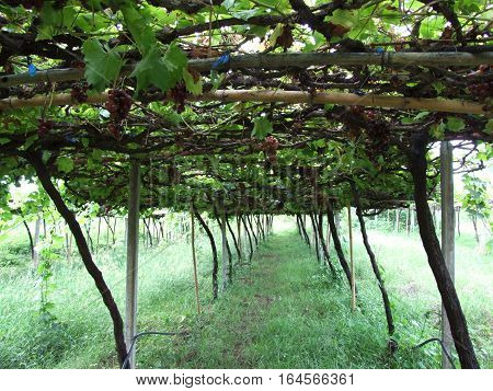 small local plantation vine yard in Thailand