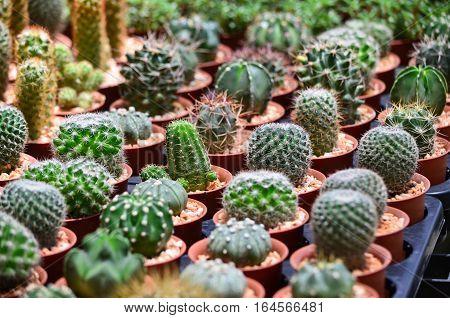 Closeup cactus pot in the garden, Thailand