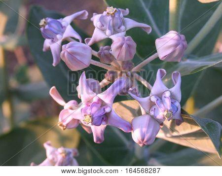 purple crown flower at tropical garden in Thailand
