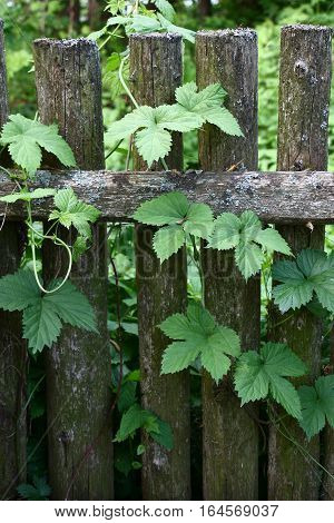 The old rural fence was twined by runaways of wild hop with green leaves.