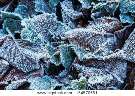Fallen Leaves With Hoarfrost In Winter