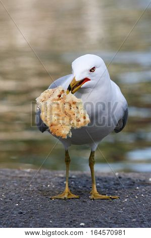 A Sea Gull holds a piece of bread