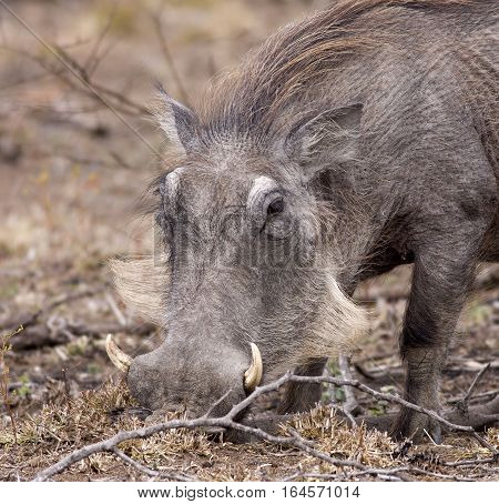 A portrait of a Wart Hog as he forages
