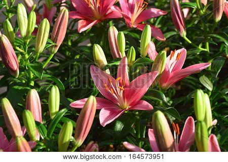 Pink lilly flowers in the garden .